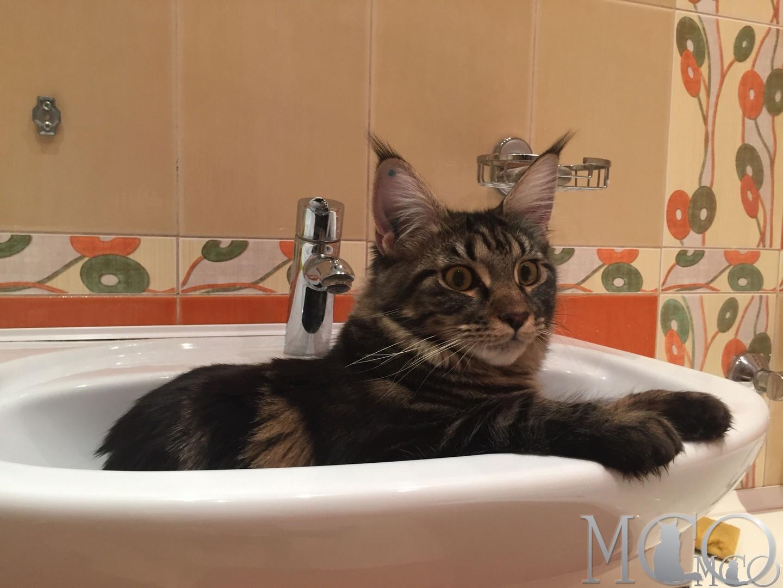 Как можно дрессировать кошку? Дрессировка кошек 21